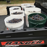 Buckets of Grapes grown with Papa's Fertilizer